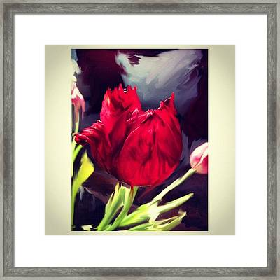 Tulip Aflame Framed Print by Paul Cutright