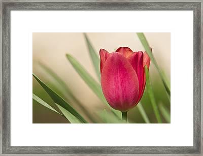 Tulip Framed Print by Alessandro Matarazzo