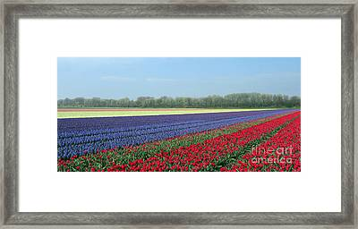 Tulip And Hyacinth Fields In Holland. Panorama Framed Print