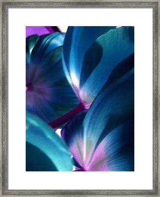 Tulip Blues Framed Print by Kathy Corday