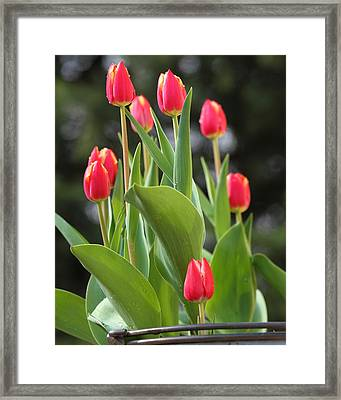 Tulip Bucket Framed Print by Coby Cooper