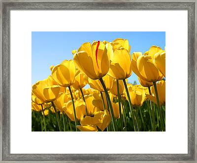 Tulip Framed Print by Dhirendra  Jaiswal