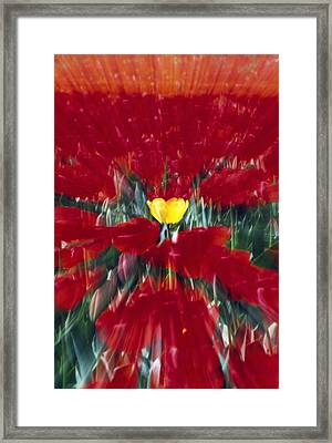 Tulip Field Zoom Effect Framed Print by Natural Selection Craig Tuttle