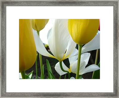 Tulip Flowers Art Prints Yellow White Tulips Floral Framed Print by Baslee Troutman