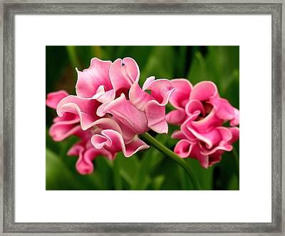 Tulip From Amsterdam Framed Print by Anne Gordon