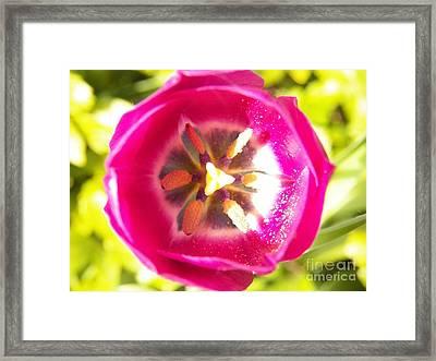 Tulip Fushia Framed Print by Judy Via-Wolff