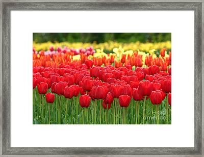 Tulip Garden Framed Print by B S Karan