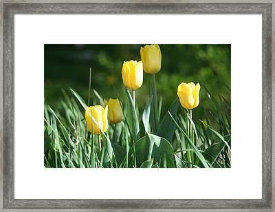 Tulip Pa Framed Print by Denise Moore