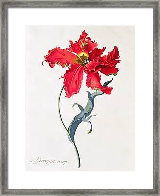 Tulip Perroquet Rouge Framed Print by Georg Dionysius Ehret