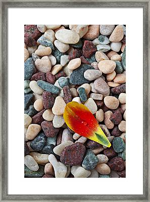 Tulip Petal And Wet Stones Framed Print by Garry Gay