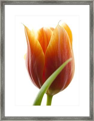 Tulip Picture Framed Print by Falko Follert