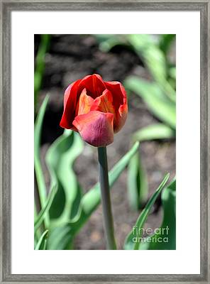 Framed Print featuring the photograph Tulip by Pravine Chester