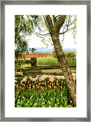 Tulip Time In The Skagit Valley Framed Print by Beverly Hanson