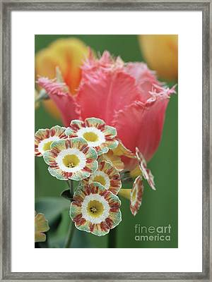 Tulip (tulipa 'fancy Frills') Framed Print by Archie Young