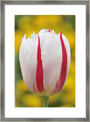 Tulip White And Red Framed Print