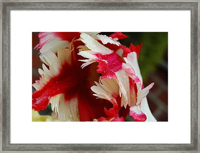 Tulips - Red And White Framed Print by Dickon Thompson