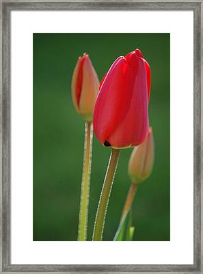 Tulips - Red Framed Print by Dickon Thompson