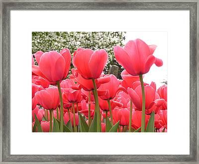 Tulips Framed Print by Andrea Drake