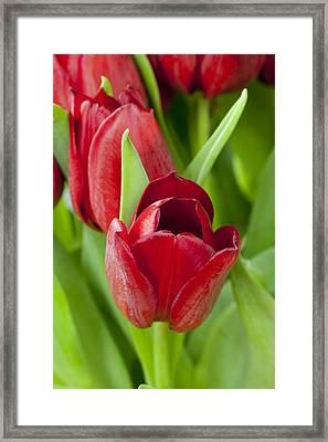 Tulips Framed Print by Andrew Dernie