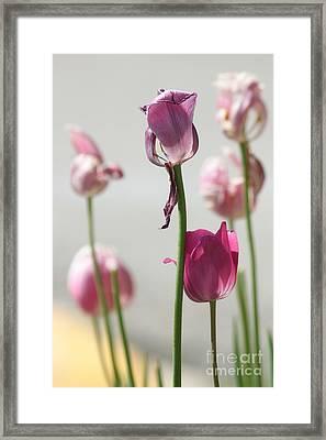 Tulips Framed Print by Billie-Jo Miller