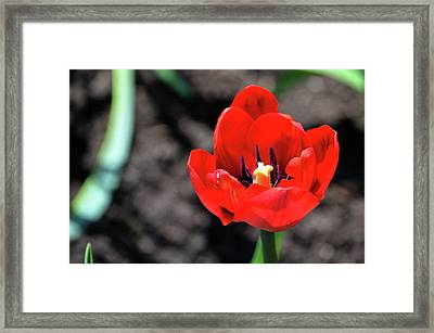 Framed Print featuring the photograph Tulips Blooming by Pravine Chester