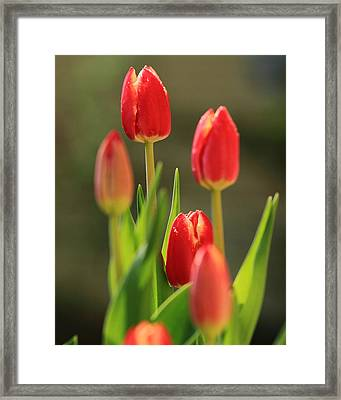 Tulips Framed Print by Coby Cooper