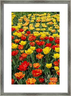 Framed Print featuring the photograph Tulips by Eva Kaufman