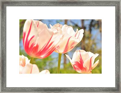 Framed Print featuring the photograph Tulips by Helen Haw