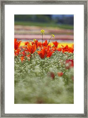 Tulips In A Field At Wooden Shoe Tulip Farm Framed Print by Design Pics / Craig Tuttle