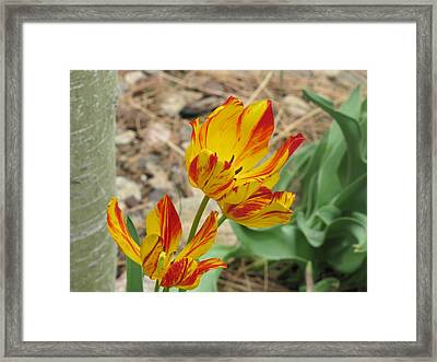 Framed Print featuring the photograph Tulips In Aspen by Shawn Hughes