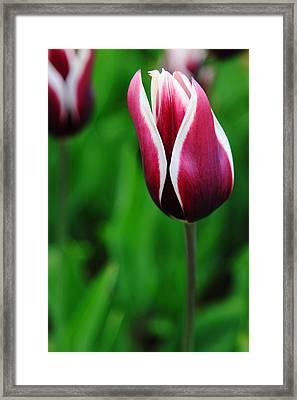 Tulips In Purple Framed Print by Kean Poh Chua