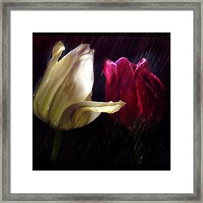 Tulips In The Rain Framed Print by Paul Cutright