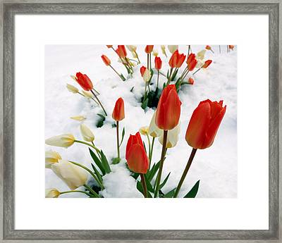 Tulips In The Snow Framed Print