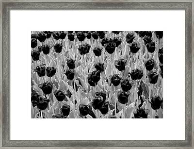 Tulips In White And Black Framed Print