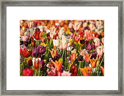 Framed Print featuring the photograph Tulips by Okan YILMAZ