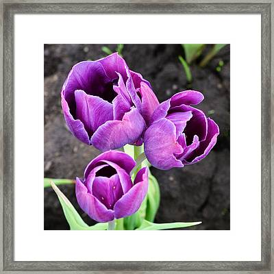 Tulips Queen Of The Night Framed Print by Ansel Price