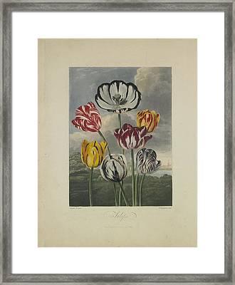 Tulips Framed Print by Robert John Thornton