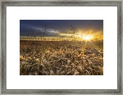 Tumble Wheat Framed Print by Debra and Dave Vanderlaan