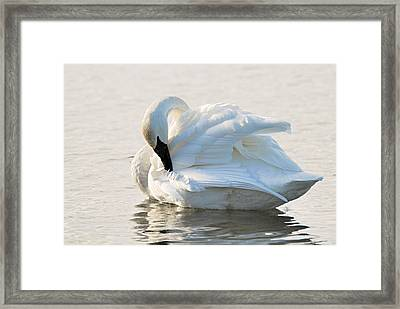 Tumpeter Swan Framed Print by Larry Ricker