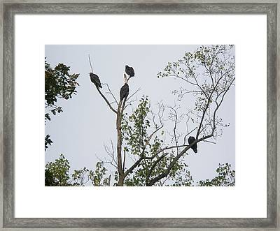 Turkey Vulture - Cathartes Aura Framed Print by Mother Nature