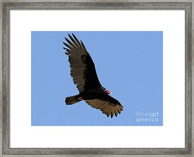 Turkey Vulture Framed Print by Marc Bittan