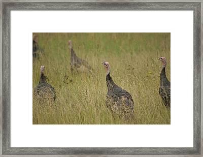Turkeys Framed Print by Michael Peychich