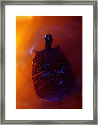 Turtle In Florida  Framed Print