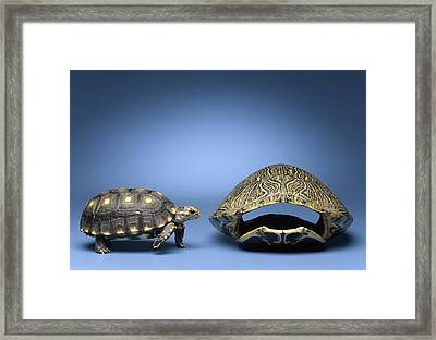 Turtle Looking At Larger, Empty Shell Framed Print by Jeffrey Hamilton