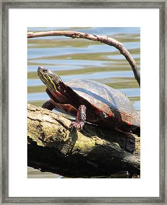 Turtle Framed Print by Todd Sherlock