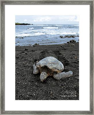 Turtle Tracks Framed Print by David Taylor