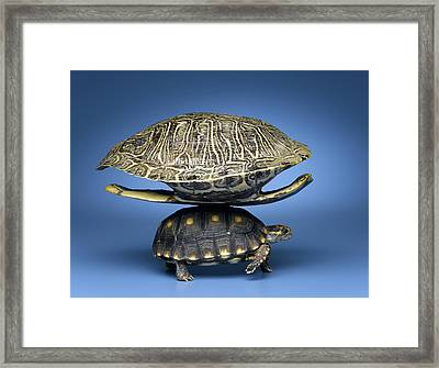 Turtle With Larger Shell On Back Framed Print by Jeffrey Hamilton