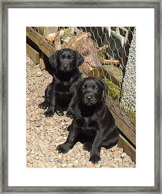 Twin Black Labrador Puppies Framed Print by Richard James Digance