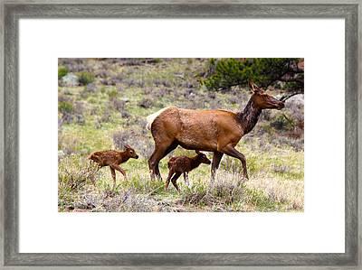 Twin Elk Calves Framed Print