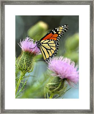 Twin Thistle Butterfly Framed Print by Marty Koch